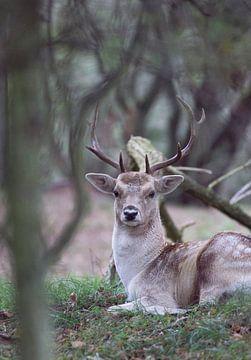 Damhert in het bos van Jeanine Verbraak