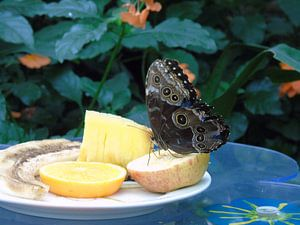 Butterfly and fruits - Morpho Peleides ( Collectie 2018 ) van