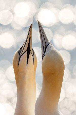 Gannets in Love von Arjen Hartog