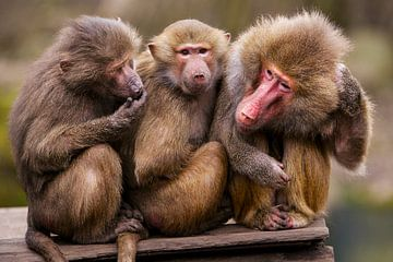 Drie apen op een rij. van Michar Peppenster