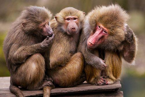 Drie apen op een rij. van