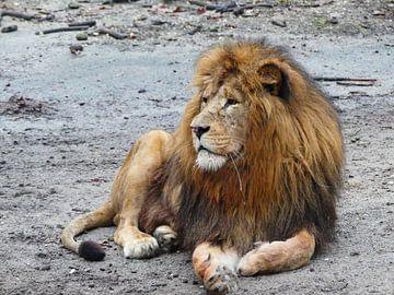Liggende leeuw na een maaltijd van Petra Dielman
