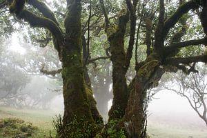 Misty Laurel Wald von