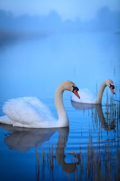 Witte zwanen in het ochtendlicht van Ron Buist