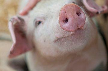 Schwein Nummer 3 von Fred en Roos van Maurik