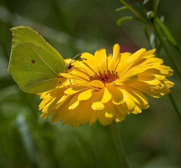 Zitronenfalter im Sonne von Ingrid Ronde
