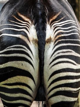 Zebra : Diergaarde Blijdorp van Loek Lobel
