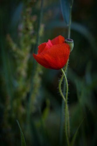 Eenzame klaproos in het veld