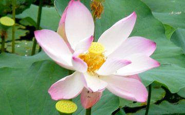 Lotus bloem  van Gerrit  De Vries