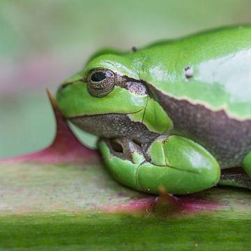 Nature | Treefrog portret sur Servan Ott