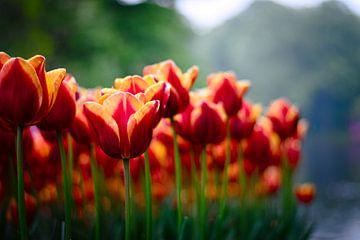 Nederlandse Tulpen van Niek Van Helden