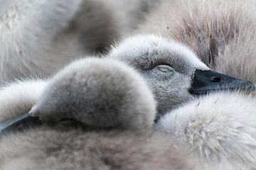 Lente! Slapende jonge zwaantjes van Rietje Bulthuis