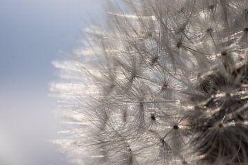 Vrucht van een paardenbloem met glinsterende pluisjes tegen een blauwe lucht van Henk Vrieselaar
