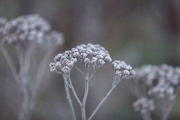 fleur gelée sur Miranda Geerts