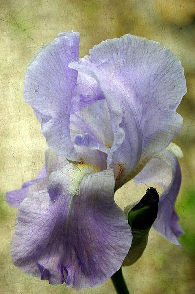 Iris vintage von Martine Affre Eisenlohr