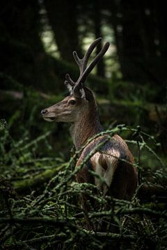 Rotwild in den schottischen Highlands von Ken Costers