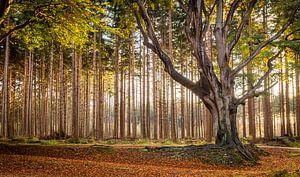 Herfst in het Bos van Bakkeveen