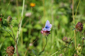 Icarusblauwtje in t veld van Shirley Douwstra