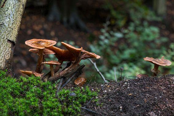 groep paddenstoelen in het bos