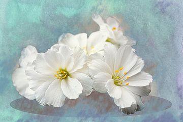 Weiße Blüten einer Sukkulente mit Tautropfen von Rietje Bulthuis
