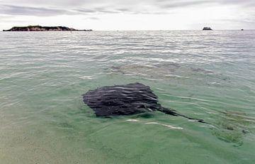 Een pijlstaartrog voor de kust van Australië van Coos Photography
