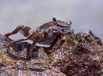 Krab van Peter Mensink