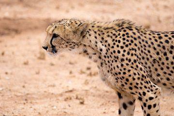 cheetah op jacht van Leo van Maanen