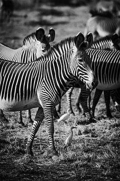 Zebra in schwarz-weiß von Dave Oudshoorn