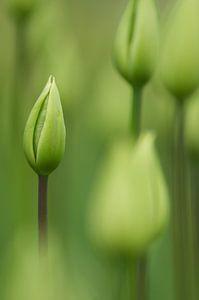 Groene tulpen in de knop