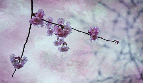 Kersenbloesemtak in de lente