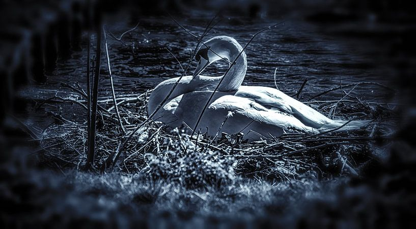 Schwarzweißer Schwan, der auf dem Nest brütet. von Nico van der Hout