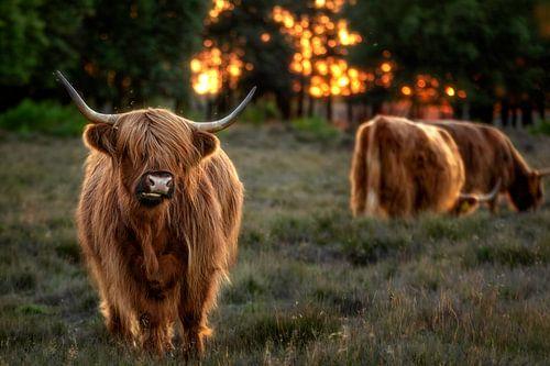 Zonsndergang met Schotse Hooglanders uit het Gooi