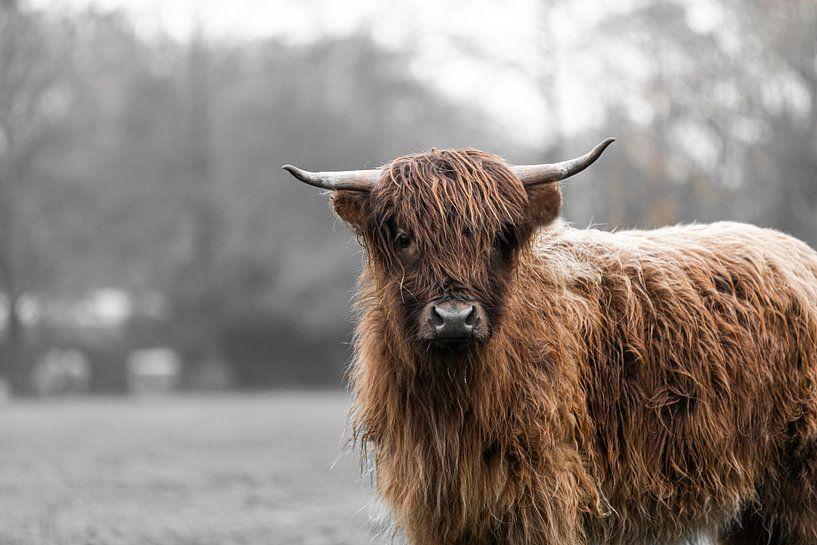 Schottischer Hochlandbewohner von Marcel Geerings