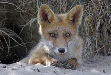 Jonge vos, Young fox van Yvonne Steenbergen