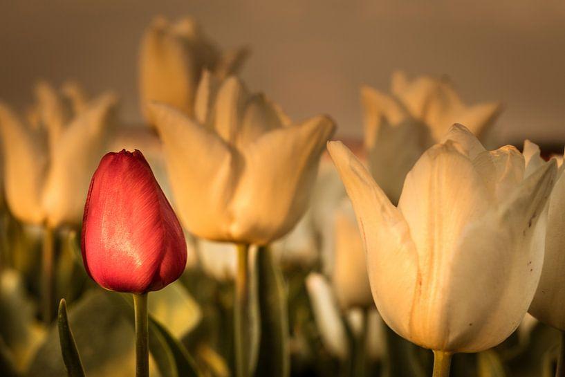 Tulpenfeld von Anjo ten Kate