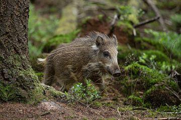 Frisling (jong wild zwijn) komt uit de dekking in het bos