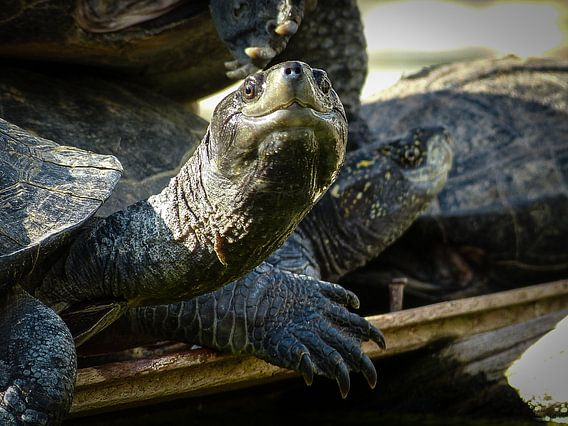 Turtles in front of the Angurukaramulla Tempel