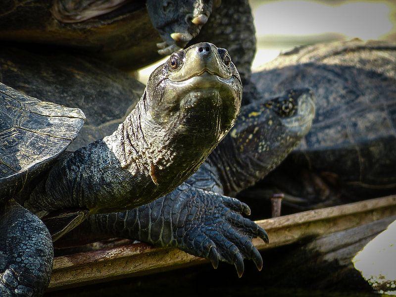 Turtles in front of the Angurukaramulla Tempel van Inez Wijker
