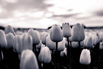 Tulip Sunset BW van Ronald Huiberse