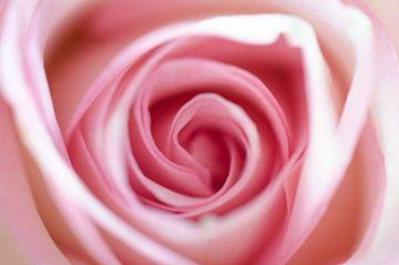 Lente lichte roos van Gerben van den Hazel