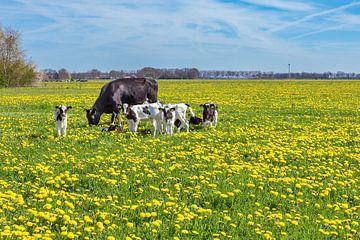 Schwarz-weiße Kuh mit Kälbern weiden in Wiese  mit gelben Löwenzahn sur Ben Schonewille
