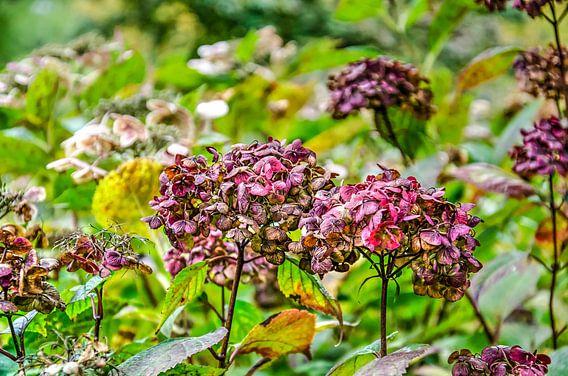 Hortensia's in de herfst