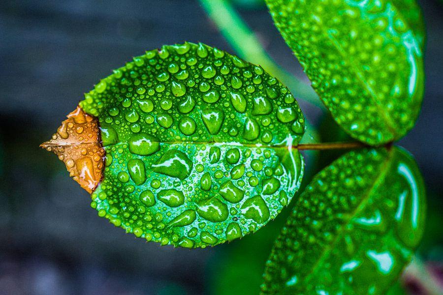 Regen op blad van Michiel van Druten