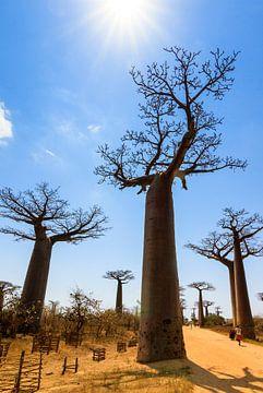 Baobab tegenlicht von Dennis van de Water