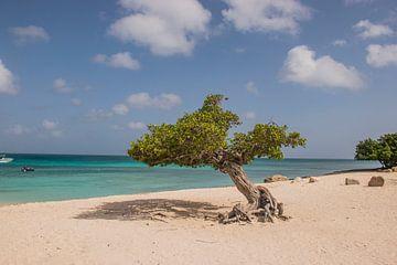Dividivi-Baum am Strand von Aruba von Bianca Kramer