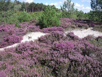 Heide in de duinen von Pieter Korstanje