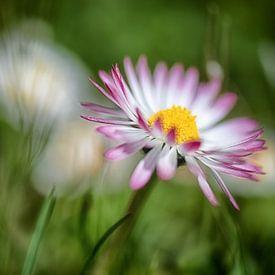 Gänseblümchen im dunkeln Rasen von Nicc Koch