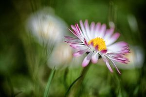 Gänseblümchen im dunkeln Rasen