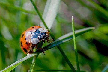Lieveheersbeestje in het gras van Raymond Schrave