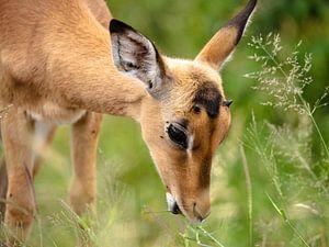 Impala eet gras van Inez Allin-Widow